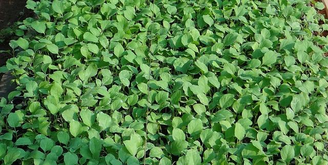Как вырастить рассаду баклажана