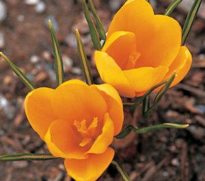 Цветок крокус голден