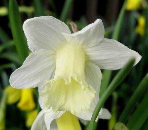 цветок нарцис раннего цветения