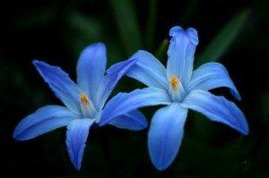 цветок хиодонокса