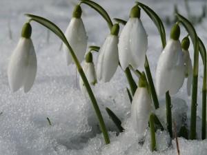 Цветок галантус. Первый весенний цветок