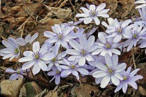 Цветок Печеночница благородная белая