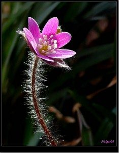 Цветок Печеночница азиатская