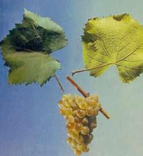 алиготе винный сорт винограда