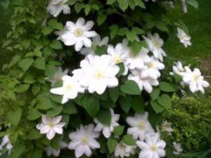Белый цвет в саду