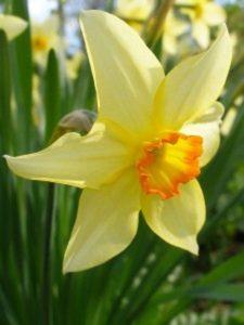 Желтый цвет в саду
