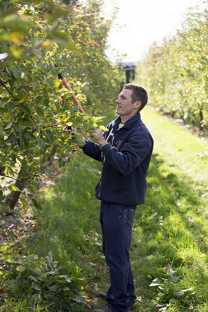Как правильно обрезать яблони