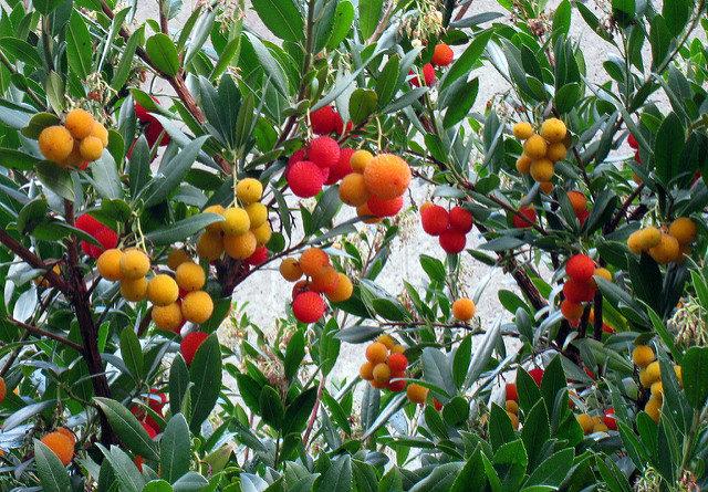арбутус, земляничное дерево