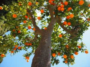 Выращивание апельсина