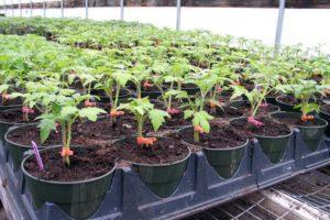 Подготовка рассады томатов