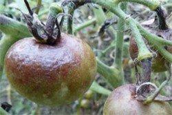 Болезни томатов и способы борьбы с ними